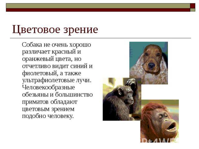 Цветовое зрение Собака не очень хорошо различает красный и оранжевый цвета, но отчетливо видит синий и фиолетовый, а также ультрафиолетовые лучи. Человекообразные обезьяны и большинство приматов обладают цветовым зрением подобно человеку.