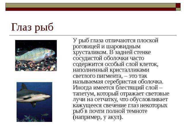 Глаз рыб У рыб глаза отличаются плоской роговицей и шаровидным хрусталиком. В задней стенке сосудистой оболочки часто содержится особый слой клеток, наполненный кристалликами светлого пигмента, – это так называемая серебристая оболочка. Иногда имеет…