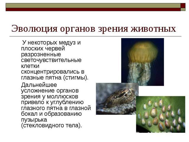 Эволюция органов зрения животных У некоторых медуз и плоских червей разрозненные светочувствительные клетки сконцентрировались в глазные пятна (стигмы). Дальнейшее усложнение органов зрения у моллюсков привело к углублению глазного пятна в глазной б…