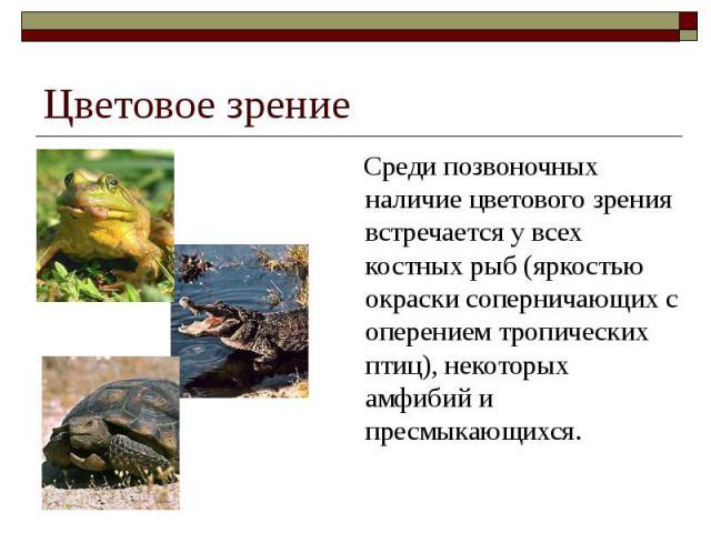 Цветовое зрение Среди позвоночных наличие цветового зрения встречается у всех костных рыб (яркостью окраски соперничающих с оперением тропических птиц), некоторых амфибий и пресмыкающихся.