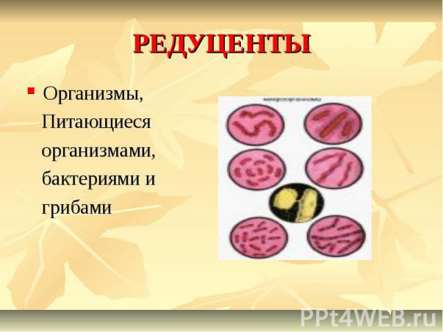 РЕДУЦЕНТЫ Организмы, Питающиеся организмами, бактериями и грибами