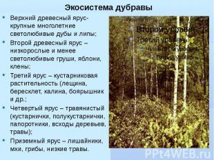Экосистема дубравы Верхний древесный ярус- крупные многолетние светолюбивые дубы