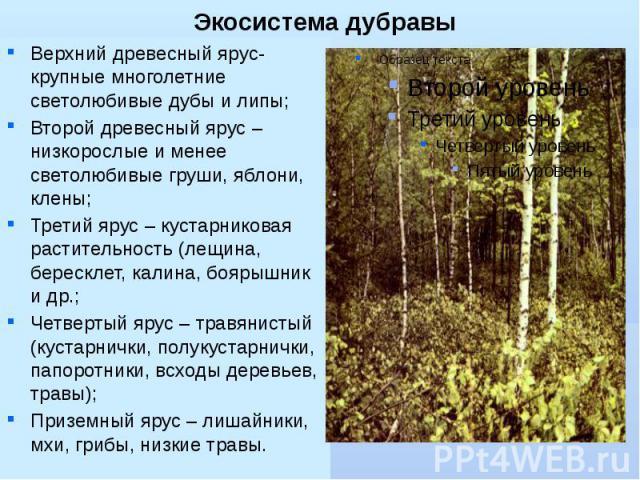 Экосистема дубравы Верхний древесный ярус- крупные многолетние светолюбивые дубы и липы; Второй древесный ярус – низкорослые и менее светолюбивые груши, яблони, клены; Третий ярус – кустарниковая растительность (лещина, бересклет, калина, боярышник …