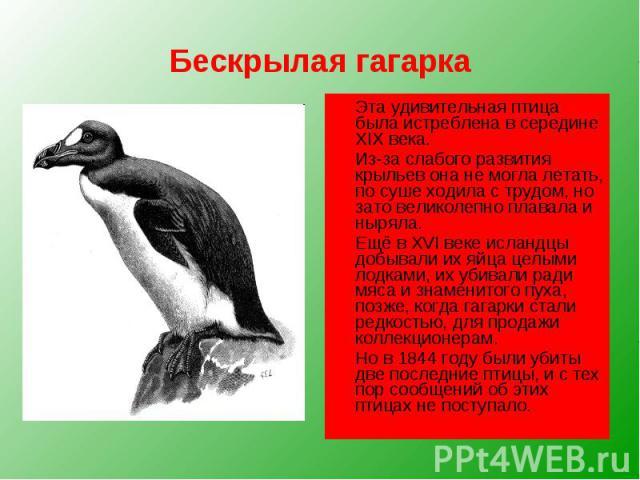 Бескрылая гагарка Эта удивительная птица была истреблена в середине XIX века. Из-за слабого развития крыльев она не могла летать, по суше ходила с трудом, но зато великолепно плавала и ныряла. Ещё в XVI веке исландцы добывали их яйца целыми лодками,…