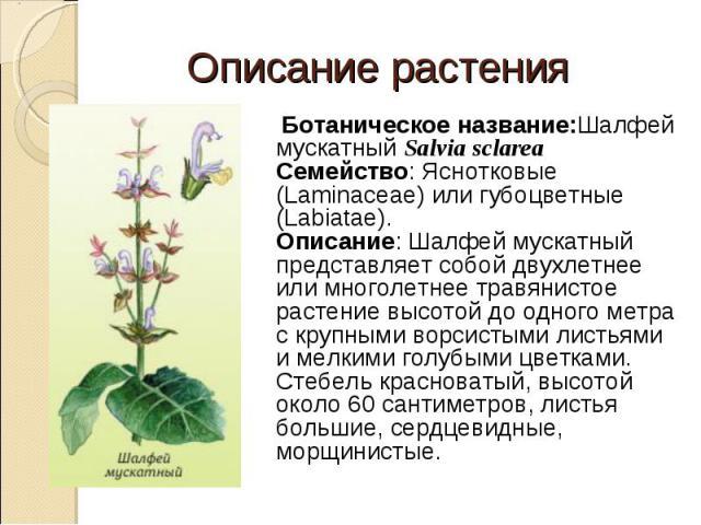Ботаническое название:Шалфей мускатный Salvia sclarea Семейство: Яснотковые (Laminaceae) или губоцветные (Labiatae). Описание: Шалфей мускатный представляет собой двухлетнее или многолетнее травянистое растение высотой до одного метра с крупными вор…