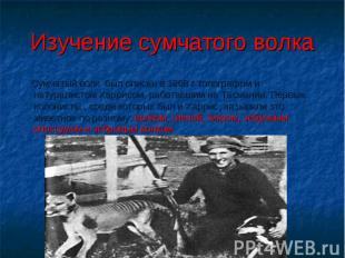 Изучение сумчатого волка Сумчатый волк был описан в 1808 г топографом и натурали