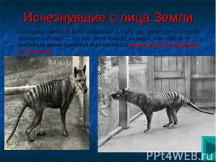 Исчезнувшие с лица Земли Последний сумчатый волк, пойманный в 1933 году, умер сп