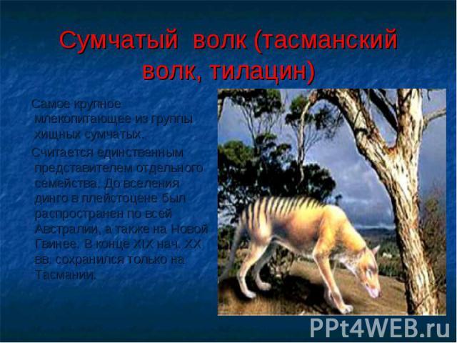 Cумчатый волк (тасманский волк, тилацин) Самое крупное млекопитающее из группы хищных сумчатых. Считается единственным представителем отдельного семейства. До вселения динго в плейстоцене был распространен по всей Австралии, а также на Новой Гвинее.…