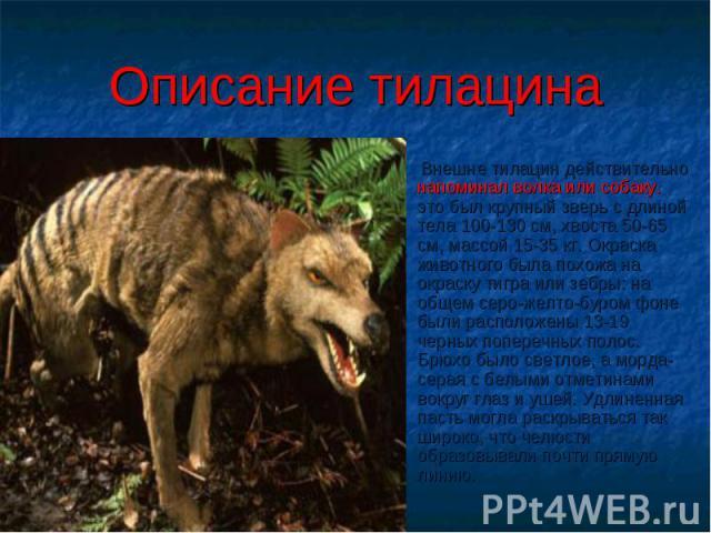 Описание тилацина Внешне тилацин действительно напоминал волка или собаку. это был крупный зверь с длиной тела 100-130 см, хвоста 50-65 см, массой 15-35 кг. Окраска животного была похожа на окраску тигра или зебры: на общем серо-желто-буром фоне был…