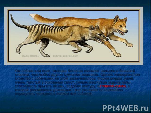 Как собака или волк, тилацин бегал на кончиках пальцев в большей степени, чем любое другое сумчатое животное. Однако конвергентное сходство с собачьими на этом заканчивалось. Форма морды ,ушей, очень толстый у основания хвост, сильно изогнутые задни…