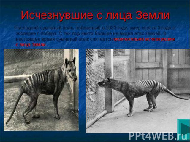 Исчезнувшие с лица Земли Последний сумчатый волк, пойманный в 1933 году, умер спустя 3 года в зоопарке г Хобарт. С тех пор никто больше не видел этих зверей. В настоящее время сумчатый волк считается окончательно исчезнувшим с лица Земли.