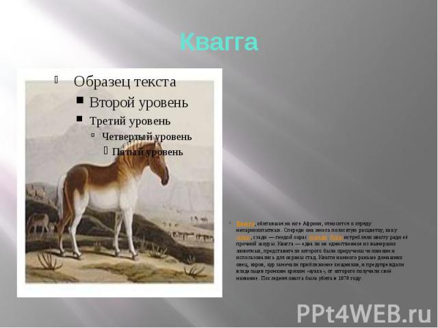 Квагга Квагга, обитавшая на юге Африки, относится к отряду непарнокопытных. Спереди она имела полосатую расцветку, как у зебры, сзади — гнедой окрас лошади. Буры истребляли кваггу ради её прочной шкуры. Квагга — едва ли не единственное из вымерших ж…