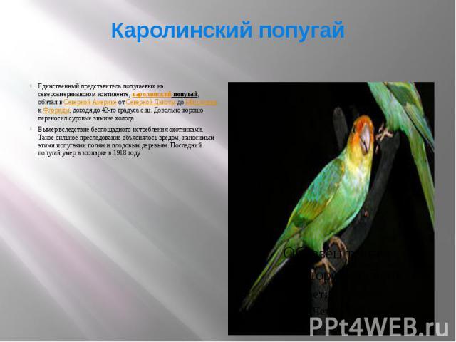 Каролинский попугай Единственный представитель попугаевых на североамериканском континенте, каролинский попугай, обитал в Северной Америке от Северной Дакоты до Миссисипи и Флориды, доходя до 42-го градуса с.ш. Довольно хорошо переносил суровые зимн…