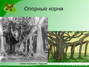 Опорные корни