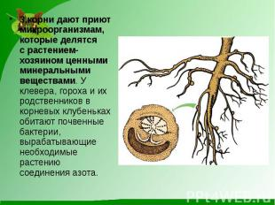 3.корни дают приют микроорганизмам, которые делятся срастением-хозяином це