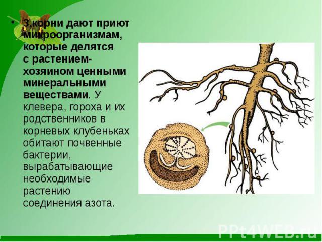 3.корни дают приют микроорганизмам, которые делятся срастением-хозяином ценными минеральными веществами. У клевера, гороха и их родственников в корневых клубеньках обитают почвенные бактерии, вырабатывающие необходимые растению соединения азот…