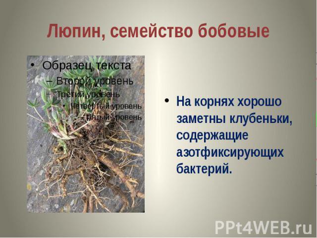 Люпин, семейство бобовые На корнях хорошо заметны клубеньки, содержащие азотфиксирующих бактерий.
