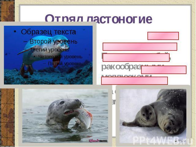 Отряд ластоногие Питаются рыбой, ракообразными, моллюсками На суше отдыхают, размножаются