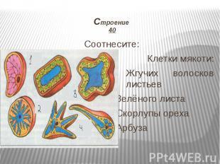 Строение 40 Соотнесите: Клетки мякоти: Жгучих волосков листьев Зелёного листа Ск