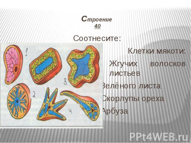 Строение 40 Соотнесите: Клетки мякоти: Жгучих волосков листьев Зелёного листа Скорлупы ореха Арбуза