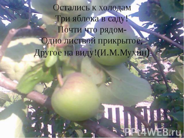 Остались к холодам Три яблока в саду! Почти что рядом- Одно листвой прикрытое, Другое на виду!(И.М.Мухин)