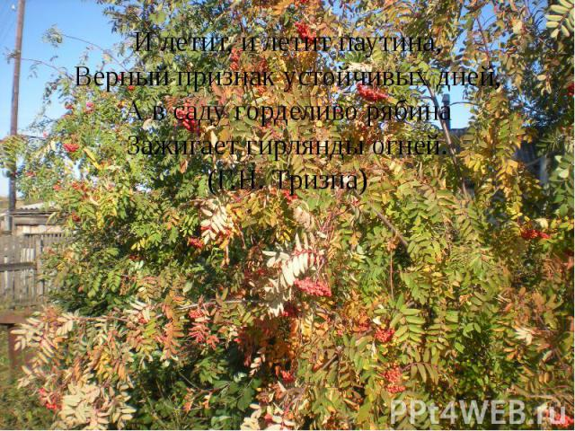 И летит, и летит паутина, Верный признак устойчивых дней, А в саду горделиво рябина Зажигает гирлянды огней. (Г.Н. Тризна)