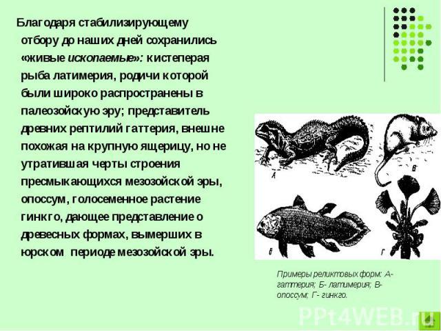 Благодаря стабилизирующему отбору до наших дней сохранились «живые ископаемые»: кистеперая рыба латимерия, родичи которой были широко распространены в палеозойскую эру; представитель древних рептилий гаттерия, внешне похожая на крупную ящерицу, но н…