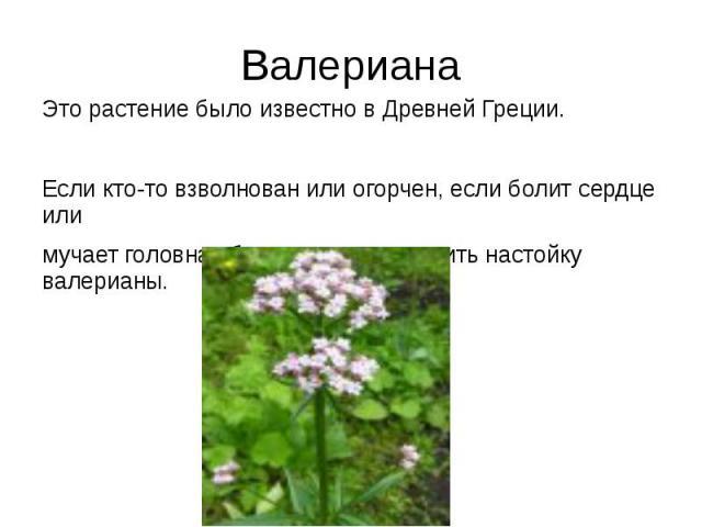 Валериана Это растение было известно в Древней Греции. Если кто-то взволнован или огорчен, если болит сердце или мучает головная боль, советуют выпить настойку валерианы.