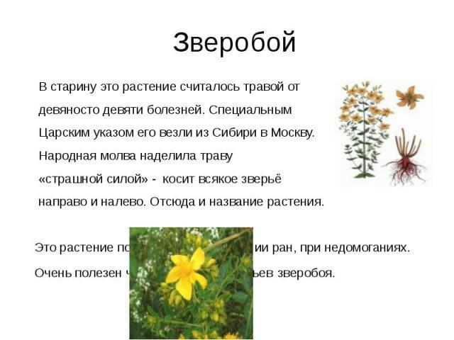 Зверобой В старину это растение считалось травой от девяносто девяти болезней. Специальным Царским указом его везли из Сибири в Москву. Народная молва наделила траву «страшной силой» - косит всякое зверьё направо и налево. Отсюда и название растения…