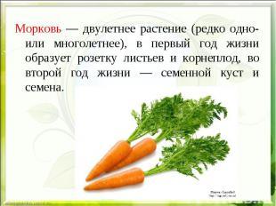 Морковь — двулетнее растение (редко одно- или многолетнее), в первый год жизни о