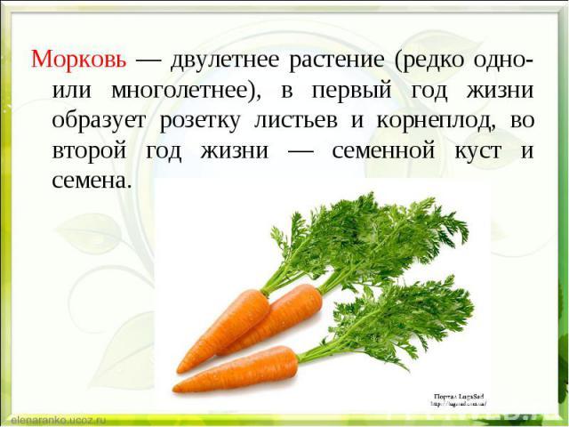 Морковь — двулетнее растение (редко одно- или многолетнее), в первый год жизни образует розетку листьев и корнеплод, во второй год жизни — семенной куст и семена. Морковь — двулетнее растение (редко одно- или многолетнее), в первый год жизни образуе…