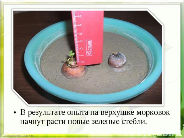 В результате опыта на верхушке морковок начнут расти новые зеленые стебли. В результате опыта на верхушке морковок начнут расти новые зеленые стебли.