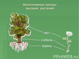 Вегетативные органы высших растений
