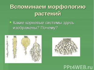 Какие корневые системы здесь изображены? Почему? Какие корневые системы здесь из