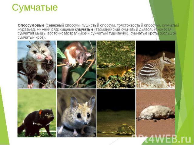 Опоссумовые (северный опоссум, пушистый опоссум, толстохвостый опоссум), сумчатый муравьед. Нижний ряд: хищные сумчатые (тасманийский сумчатый дьявол, узконосая сумчатая мышь, восточноавстралийский сумчатый тушканчик), сумчатые кроты (большой сумчат…