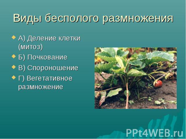 А) Деление клетки (митоз) А) Деление клетки (митоз) Б) Почкование В) Спороношение Г) Вегетативное размножение