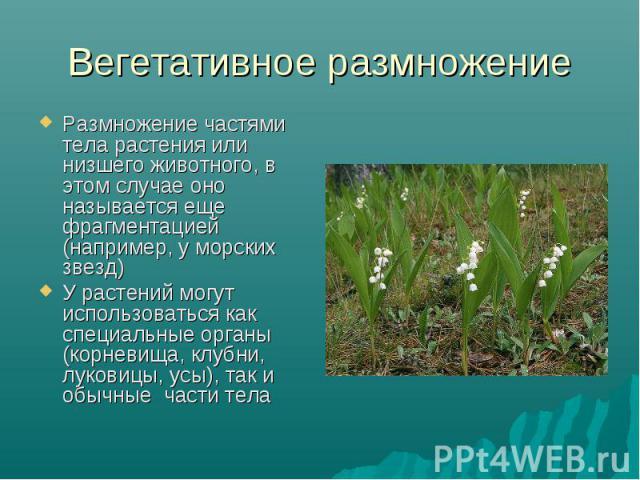 Размножение частями тела растения или низшего животного, в этом случае оно называется еще фрагментацией (например, у морских звезд) Размножение частями тела растения или низшего животного, в этом случае оно называется еще фрагментацией (например, у …