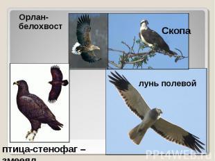 Орлан-белохвост Орлан-белохвост