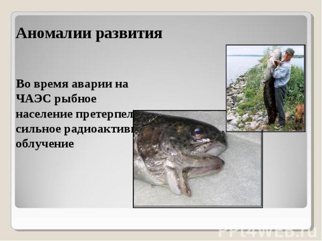 Во время аварии на ЧАЭС рыбное население претерпело сильное радиоактивное облучение Во время аварии на ЧАЭС рыбное население претерпело сильное радиоактивное облучение