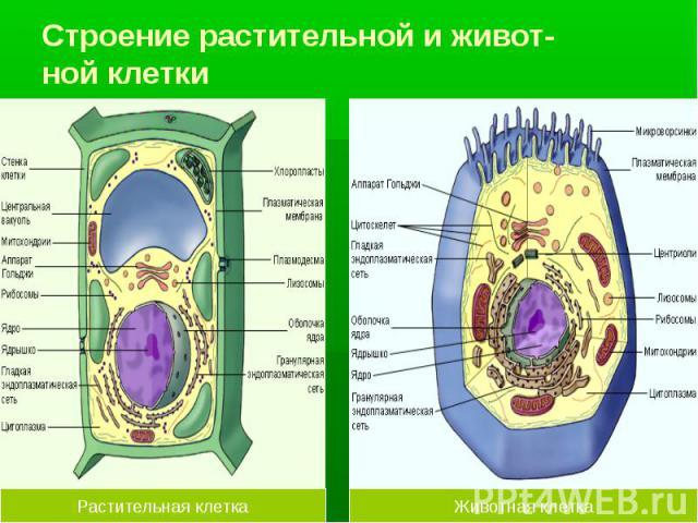 Строение растительной и живот- ной клетки