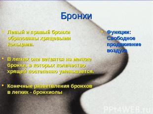 Левый и правый бронхи образованы хрящевыми кольцами. Левый и правый бронхи образ