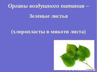 Зеленые листья Зеленые листья (хлоропласты в мякоти листа)