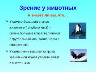 У самого большого в мире животного (голубого кита) – самые большие глаза: величи