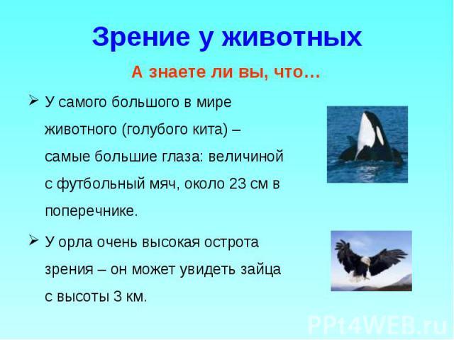 У самого большого в мире животного (голубого кита) – самые большие глаза: величиной с футбольный мяч, около 23 см в поперечнике. У самого большого в мире животного (голубого кита) – самые большие глаза: величиной с футбольный мяч, около 23 см в попе…
