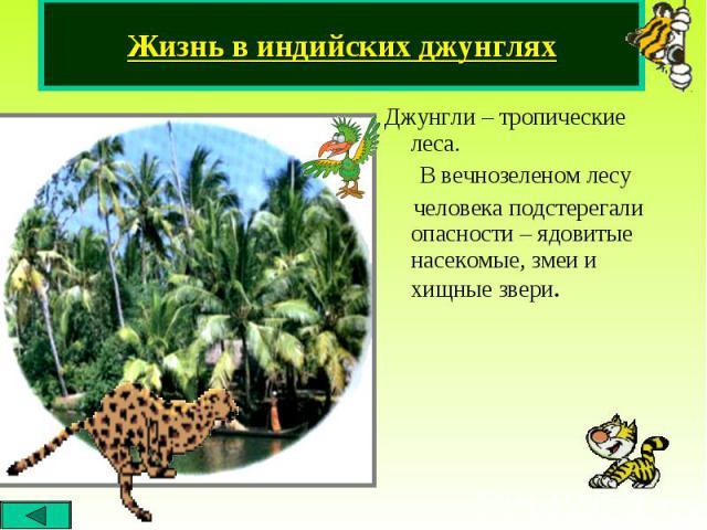 Джунгли – тропические леса. Джунгли – тропические леса. В вечнозеленом лесу человека подстерегали опасности – ядовитые насекомые, змеи и хищные звери.