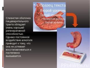 Слизистая оболочка пищеварительного тракта обладает очень хорошей регенеративной