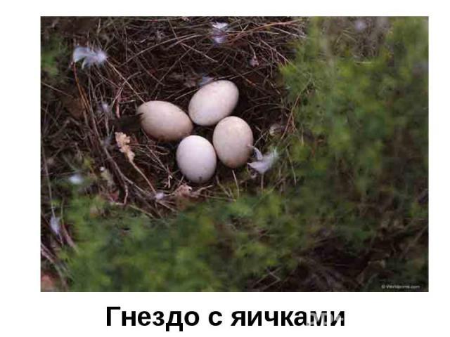 Гнездо с яичками