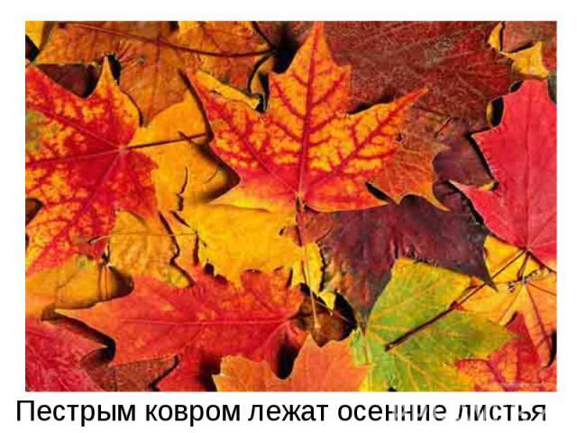 Пестрым ковром лежат осенние листья