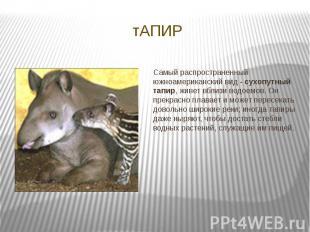 тАПИР Самый распространенный южноамериканский вид - сухопутный тапир, живет вбли