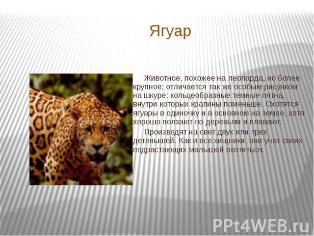 Ягуар Животное, похожее на леопарда, но более крупное; отличается так же особым рисунком на шкуре: кольцеобразные темные пятна, внутри которых крапины поменьше. Охотятся ягуары в одиночку и в основном на земле, хотя хорошо ползают по деревьям и плав…